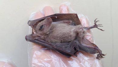 تصویر از خفاش میوهخوار برای نخستین بار در خوزستان مشاهده شد