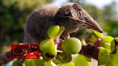 تصویر از حشره خوار کوتوله، کوچکترین پستاندار ایران در دزفول دیده شد