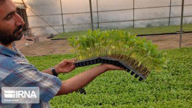 تصویر از تولید نشاء گلخانهای در دزفول